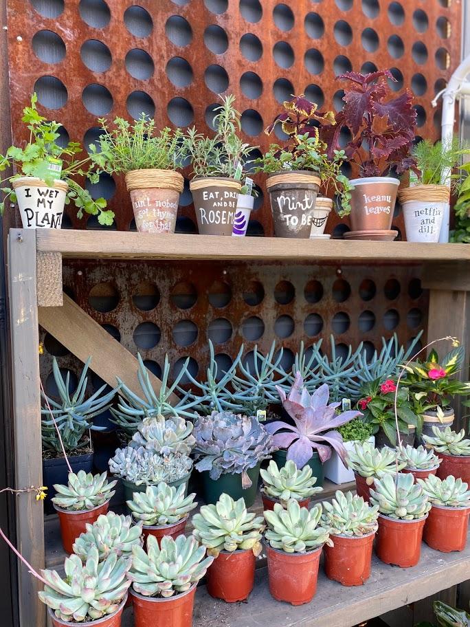 Succulents in terracotta pots arranged on wooden shelves at garden pop-up in Chicago